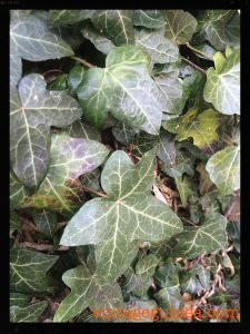 Ivy is a good example of a plant we see all year round - do we necessarily notice how it changes throughout the year though?